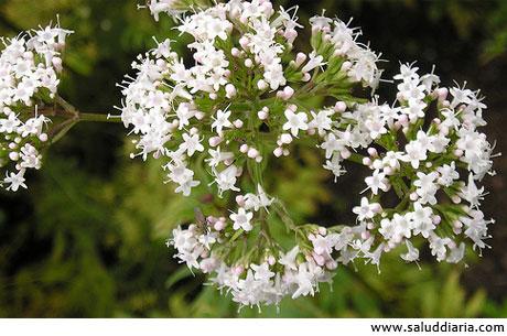 flores-valeriana