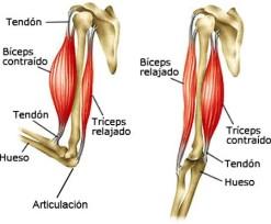 tendon 3
